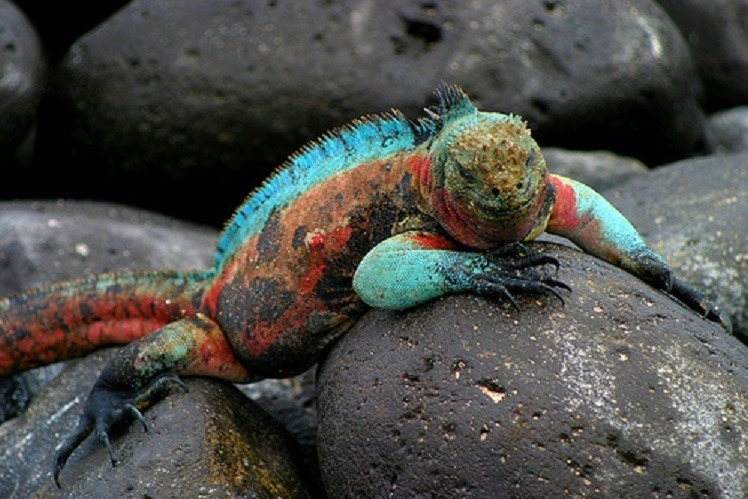Machu Picchu and Galapagos Islands tour - Iguana