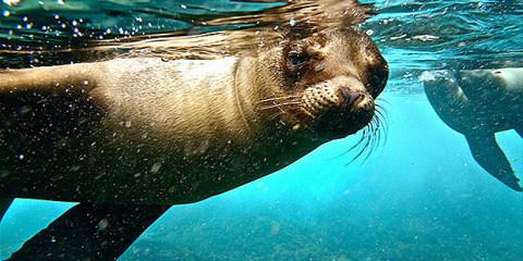 Sealion Galapagos