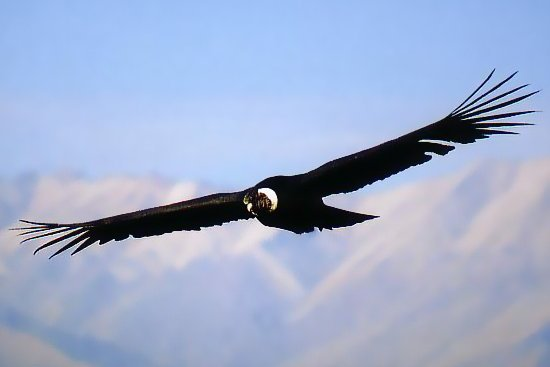 A photo of a huge Andean condor, taken on a Colca Canyon tour by Southern Crossings.
