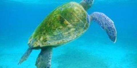 Galapagos Islands Sea Turtle